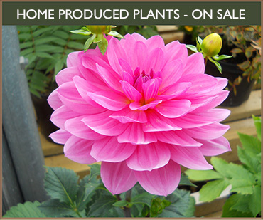 Home Produced Plants on Sale - Garden Centre in Gillingham near Shaftesbury Dorset
