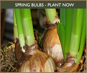 Spring Bulbs for Sale, Garden Centre North Dorset. Thorngrove