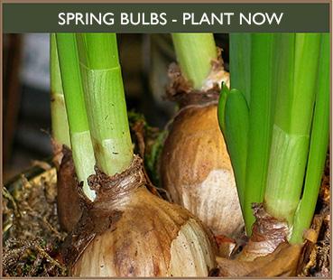 Spring Bulbs for Sale, Garden Centre North Dorset. Thorngrove