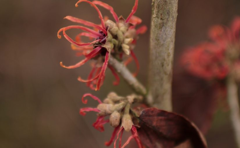 Winter flowers Hamamelis Jelena