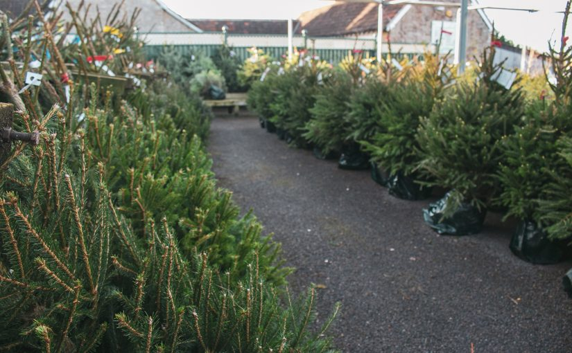 Real Christmas trees – available now!
