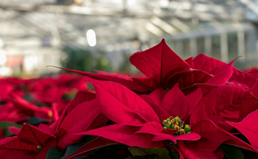 Poinsettias – Available Now