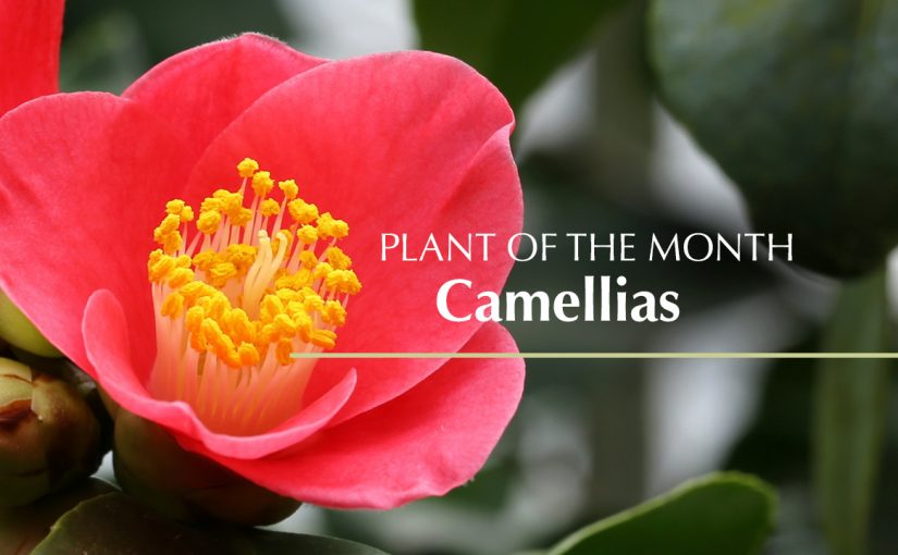 Plant of the month: Camellias