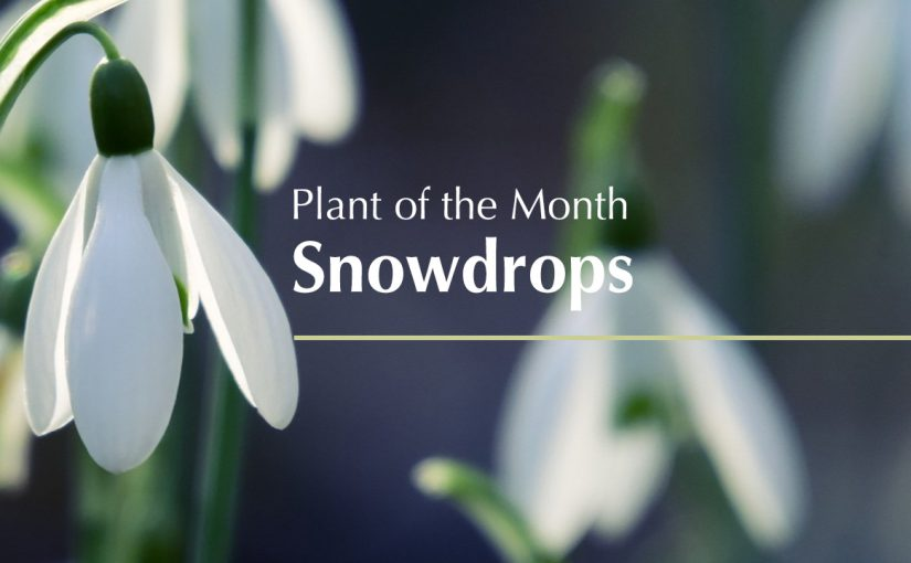 Plant of the Month…Snowdrops
