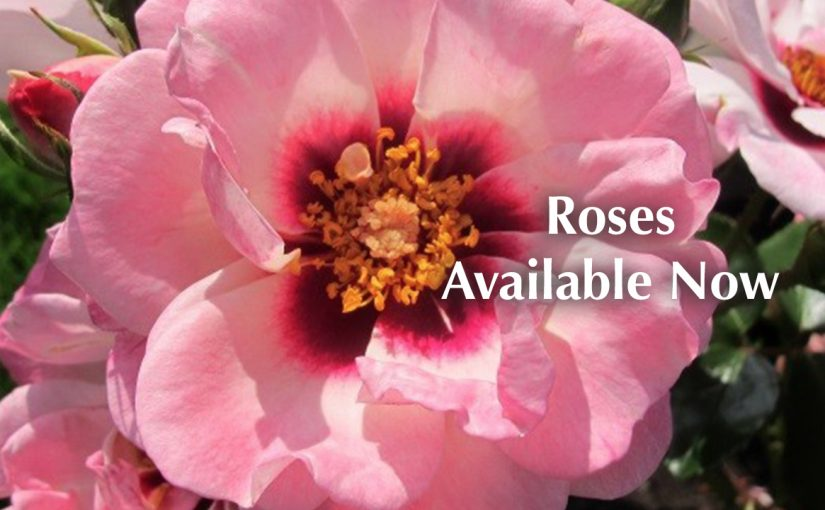 Roses Launch Offer