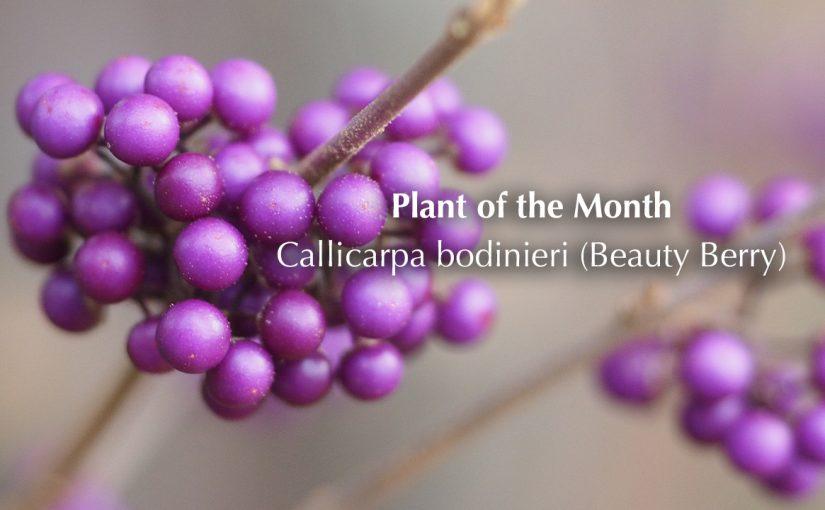 Plant of the month – Callicarpa bush (beauty berry)